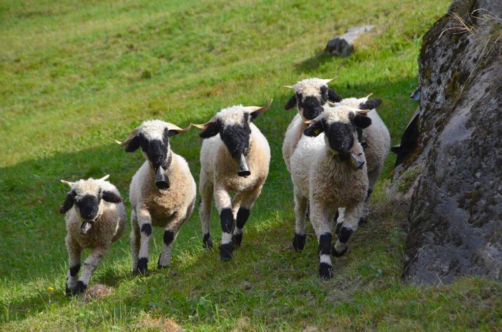 valais blacknose sheep