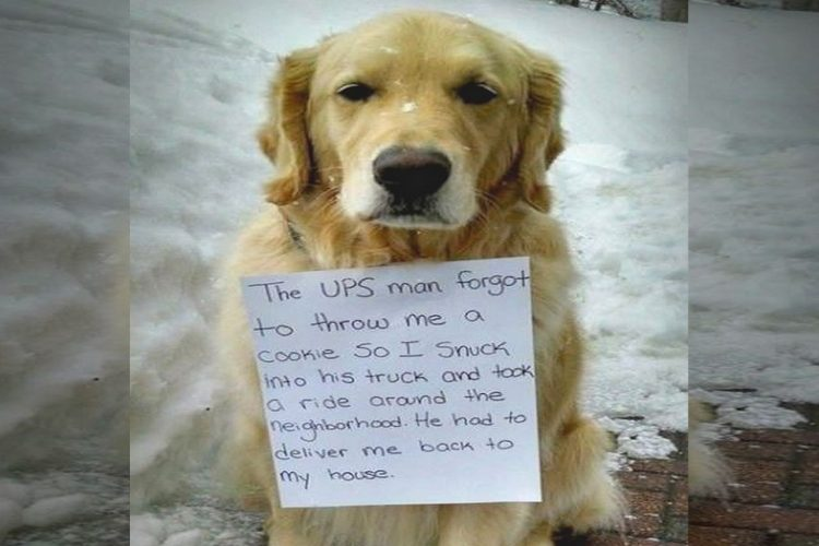 Golden Retriever Sneaks Into UPS Truck to Hides and Rides Across Town