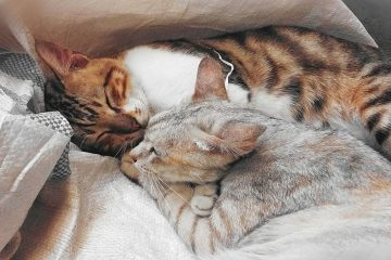 Cat Cuddles What to Know About Your Lovely Cats Snuggling Habits