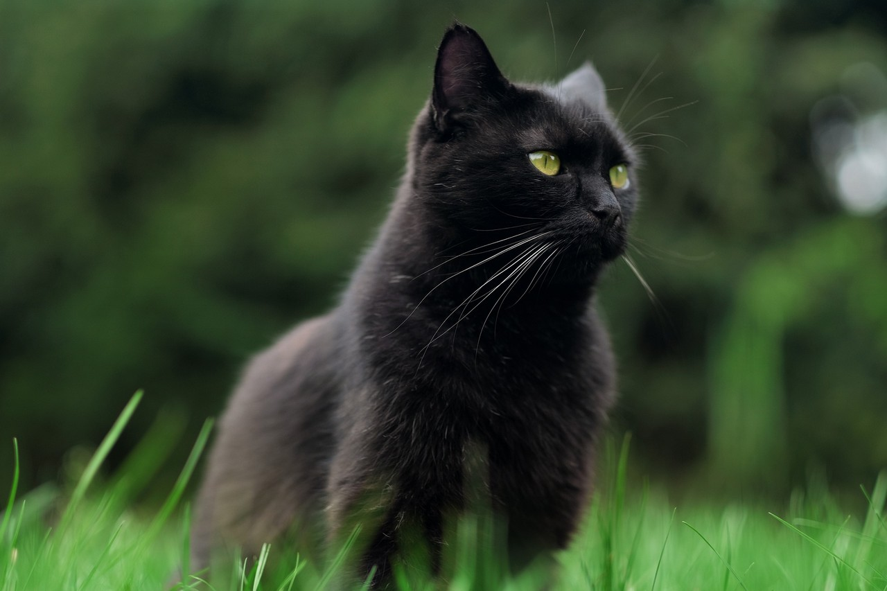 national black cat day 2020