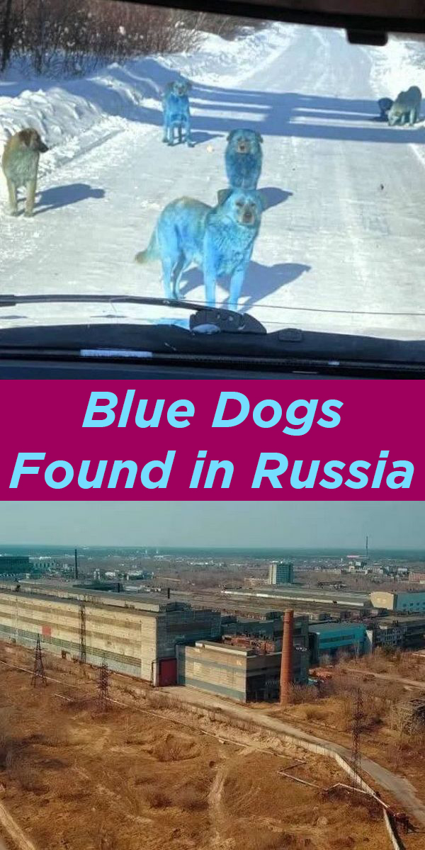 Blue Dogs found in Russia