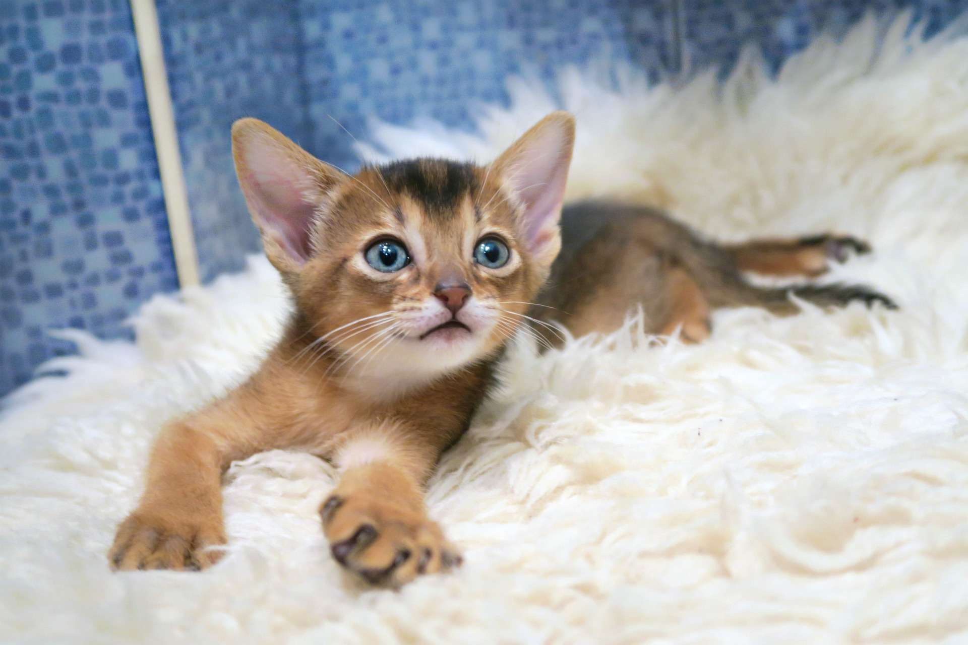 cats abyssinians